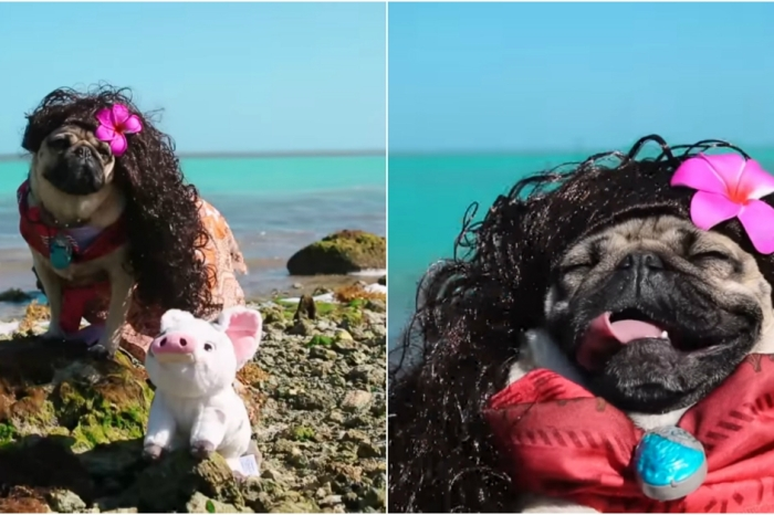 """A Pug named Doug recreated a musical number from """"Moana,"""" and it's just as cute as you'd expect"""
