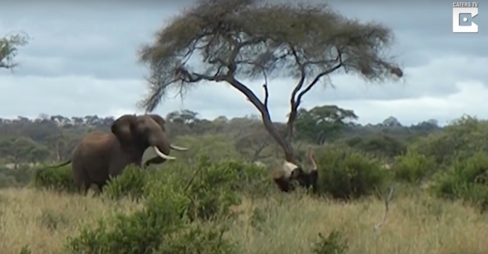 Two ticked off ostriches kickboxing in the wild took off running when an elephant put on its zebra stripes and refereed
