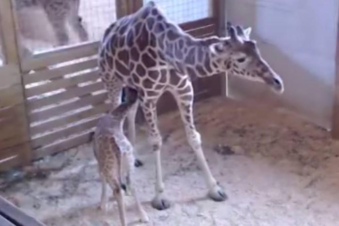 April the Giraffe's baby has a name!