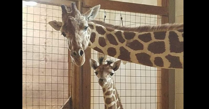 Forget about the webcam, now you can see April the Giraffe and her baby in person
