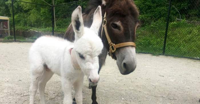This rescued mini-donkey was carrying a big secret
