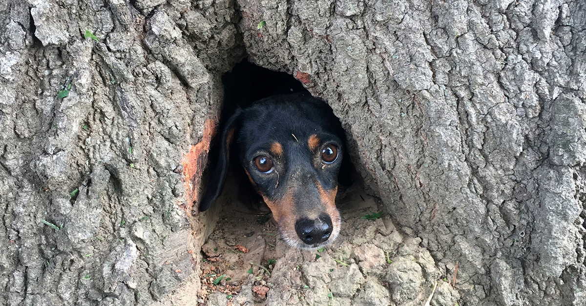 This dachshund had to be rescued after getting stuck under a tree