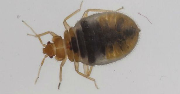 Chicago Named Third Worst City for Bed Bugs