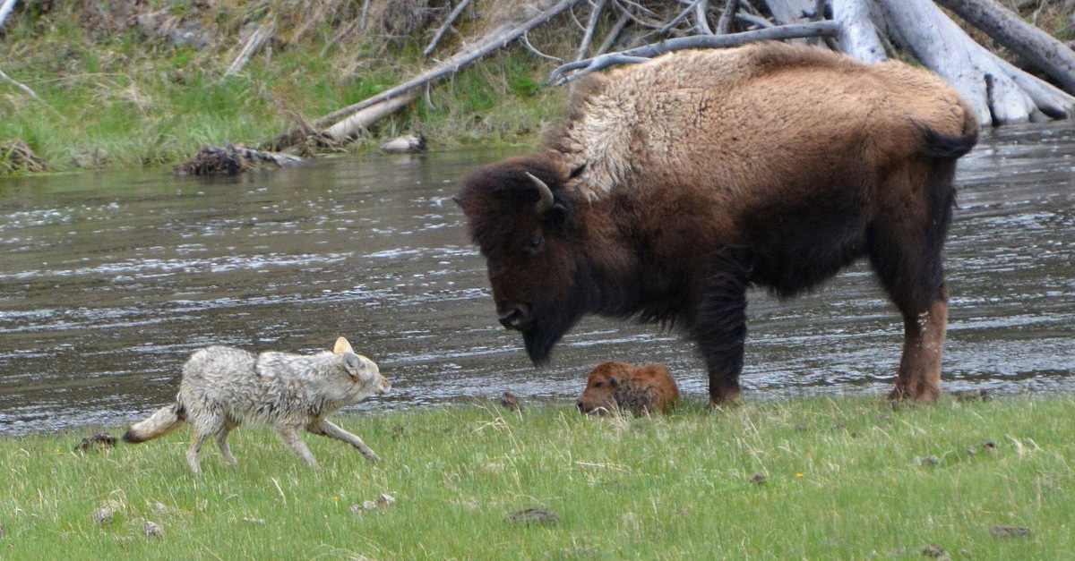 Mama bison scoffs at coyote's attempt to harm her newborn calf