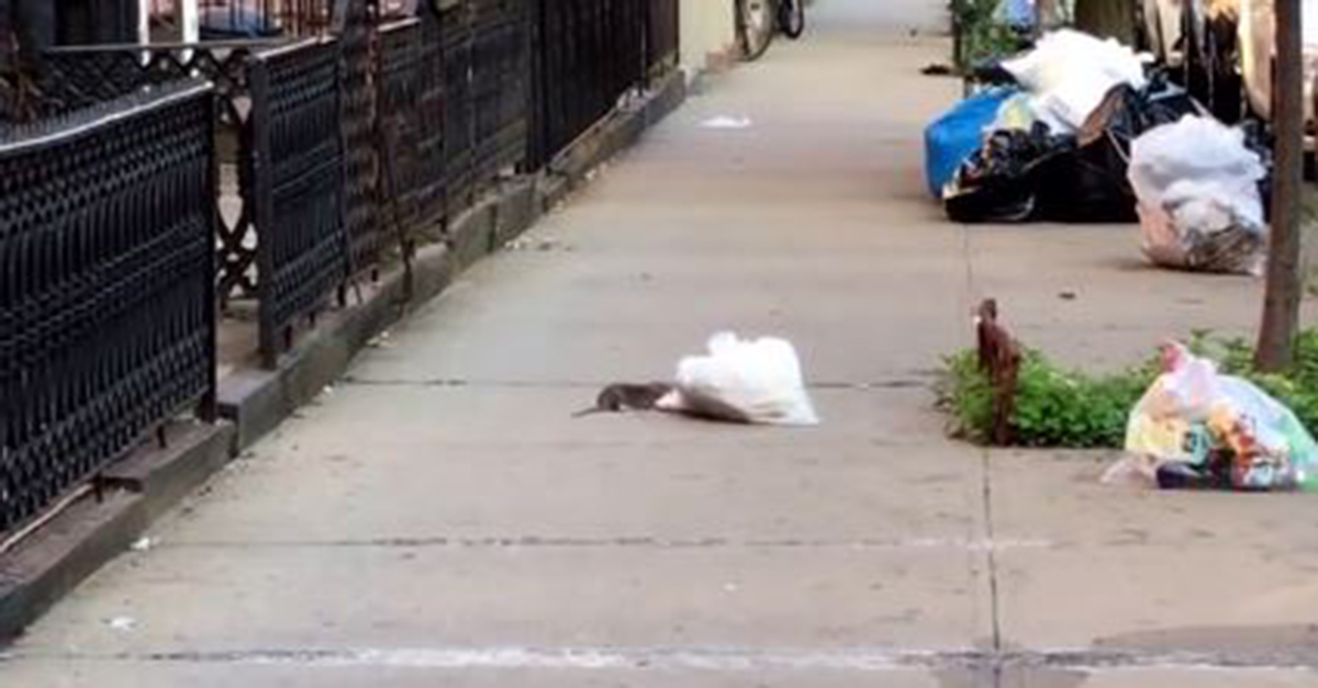 Watch this rat go the extra mile and get a slice of pizza as a reward