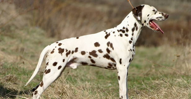 12 fun and furry facts about our spotted friend, the Dalmatian