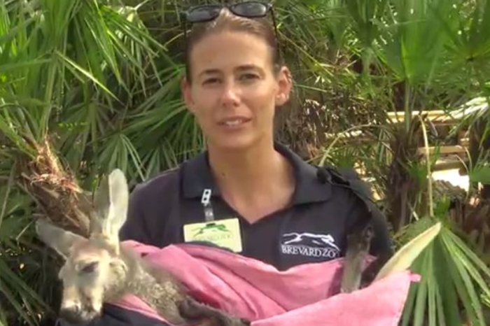 An abandoned baby kangaroo has been deemed healthy enough to return to her mother