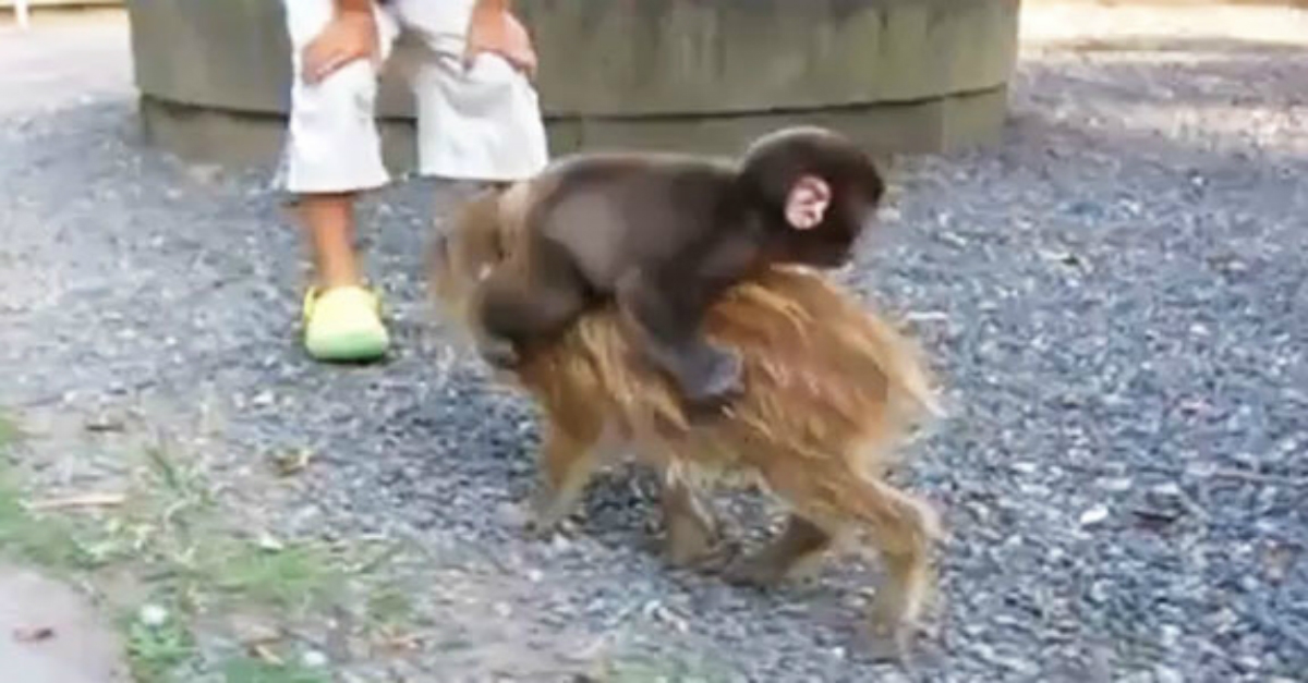 """Baby Monkey (Going Backwards On A Pig)"" is a classic viral hit that we can't get out of our heads"