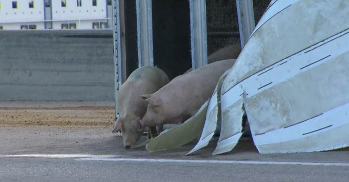 When pigs fly… out of an 18-wheeler at morning rush hour traffic