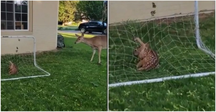 Man Rescues Tangled Baby Deer From Soccer Net