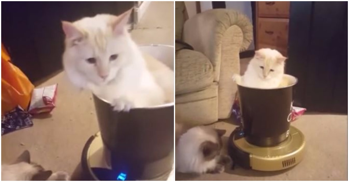 Watch these cats go for a ride on a robot vacuum cleaner