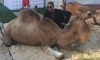 prom camel resize
