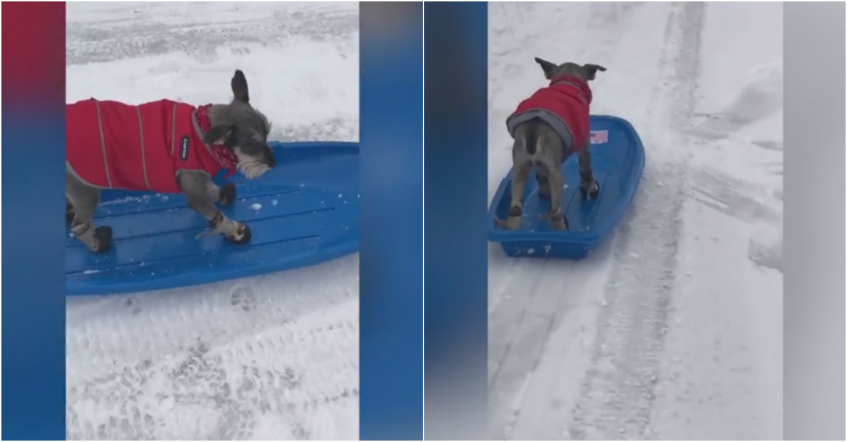 This nonchalant dog deserves a gold medal for its graceful poise and mad sledding skills.