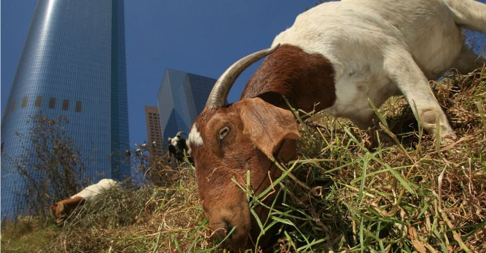 A woman fell asleep and crashed her car, risking the lives of her goats in the process