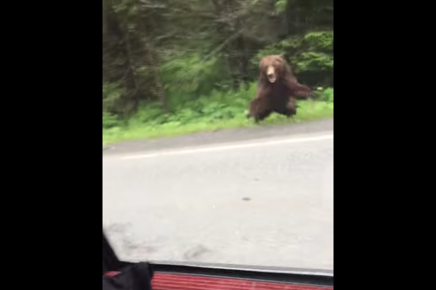 Two People Stop Car to Look at Bear, Bear Immediately Charges