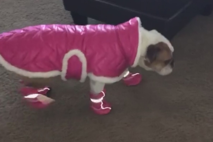 This stylish bulldog acquired some fancy footwear, and it's probably the most adorable thing you'll see today