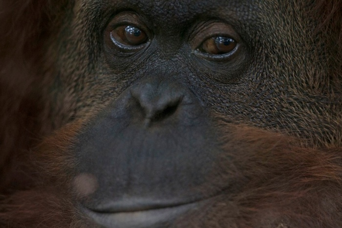 Humans are encroaching on an orangutan sanctuary in Indonesia