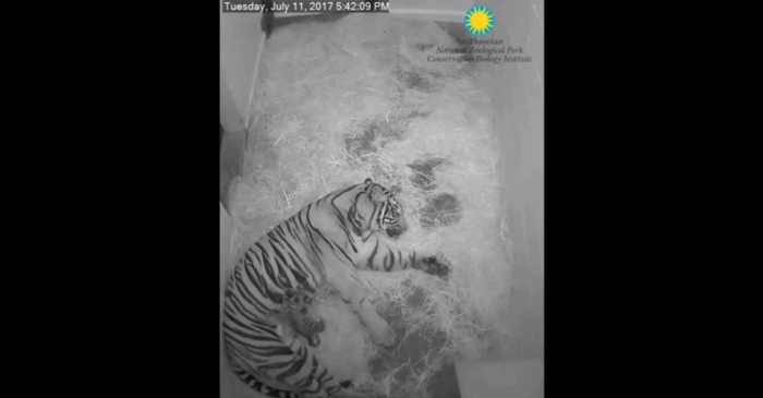 Two American zoos just welcomed some adorable new tiger cubs within the last two weeks