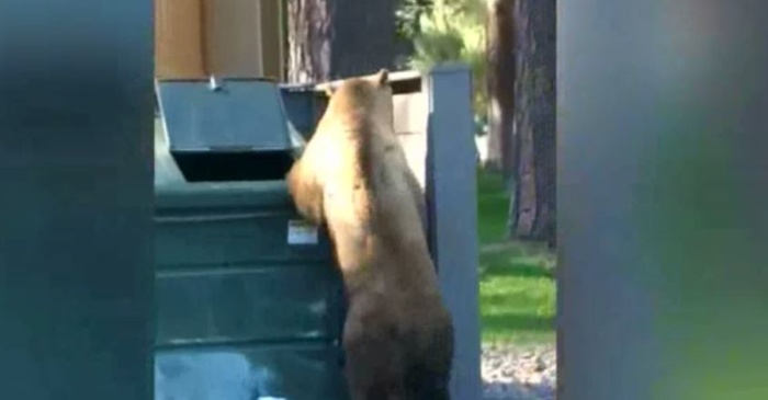 This bear got hungry so, of course, it went for a dive in the dumpster
