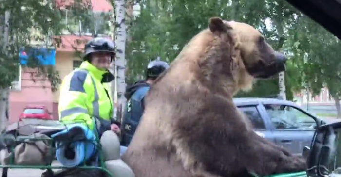This bear riding shotgun is the most Russian thing you'll see today