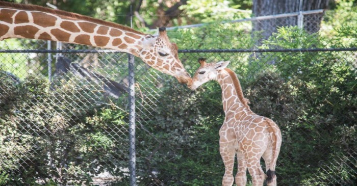 In honor of his 3,000th hit, the Fort Worth Zoo names its giraffe calf after baseball player Adrian Beltre