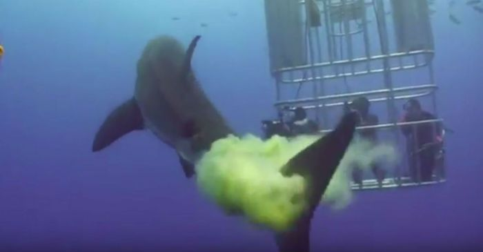 Divers Get Pooped on by Great White Shark
