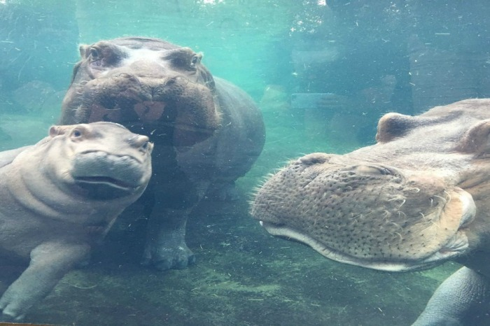 This Cincinnati hippo family is finally complete with Dad back in the picture