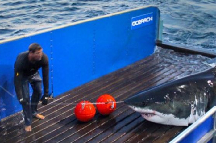 Meet the Hamptons' newest celebrity: Mary Lee, a great white shark