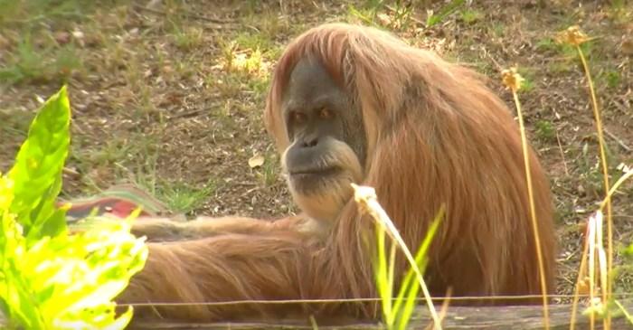 This is 50: Toba the orangutan celebrates a milestone birthday