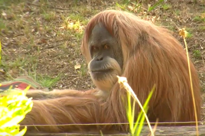 This is 50: Toba the orangutan celebrates a milestone birthday
