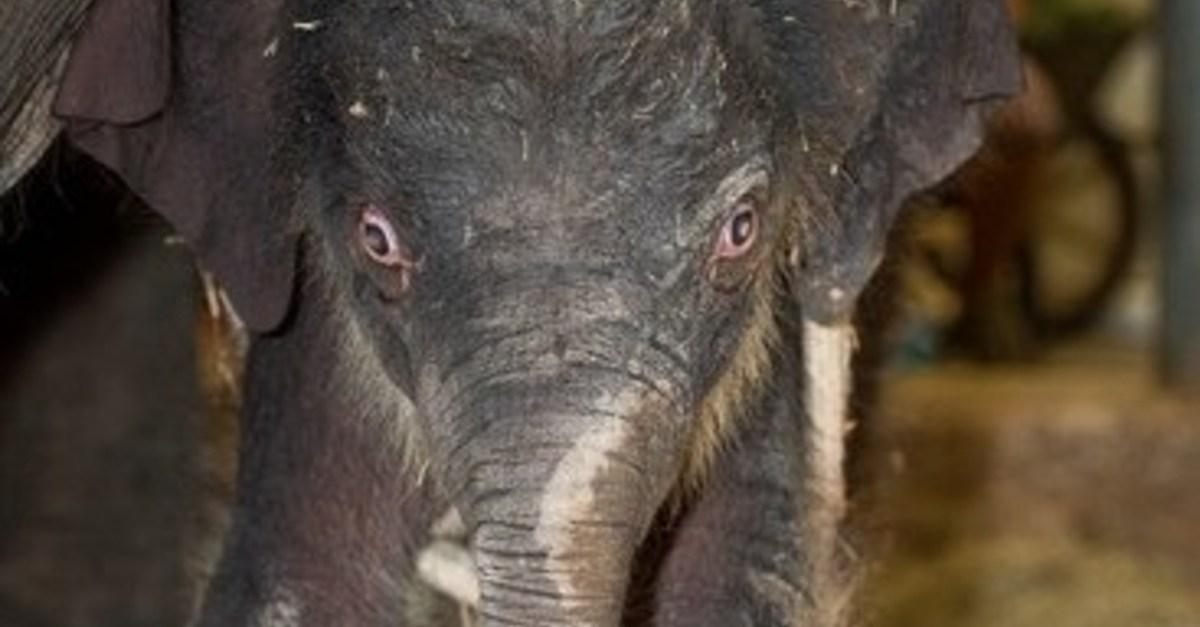Houston Zoo welcomes baby Asian elephant named Joy, and she's so cute!