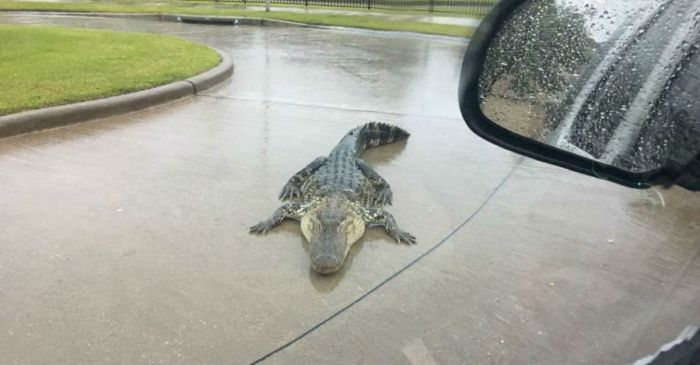 Alligators take over headlines as they team up with Harvey to wreak havoc on locals