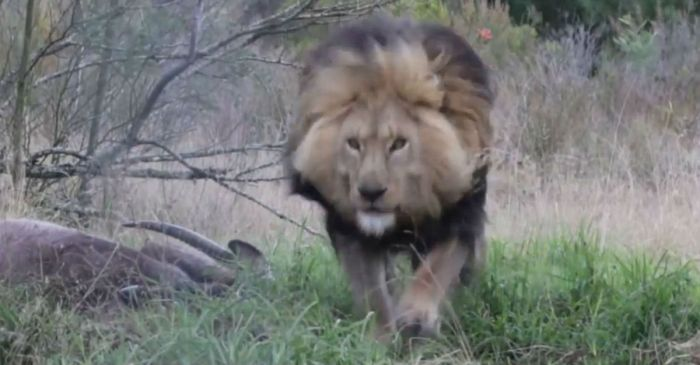 A cameraman decided to interrupt a lion's meal — he should have expected what happened next