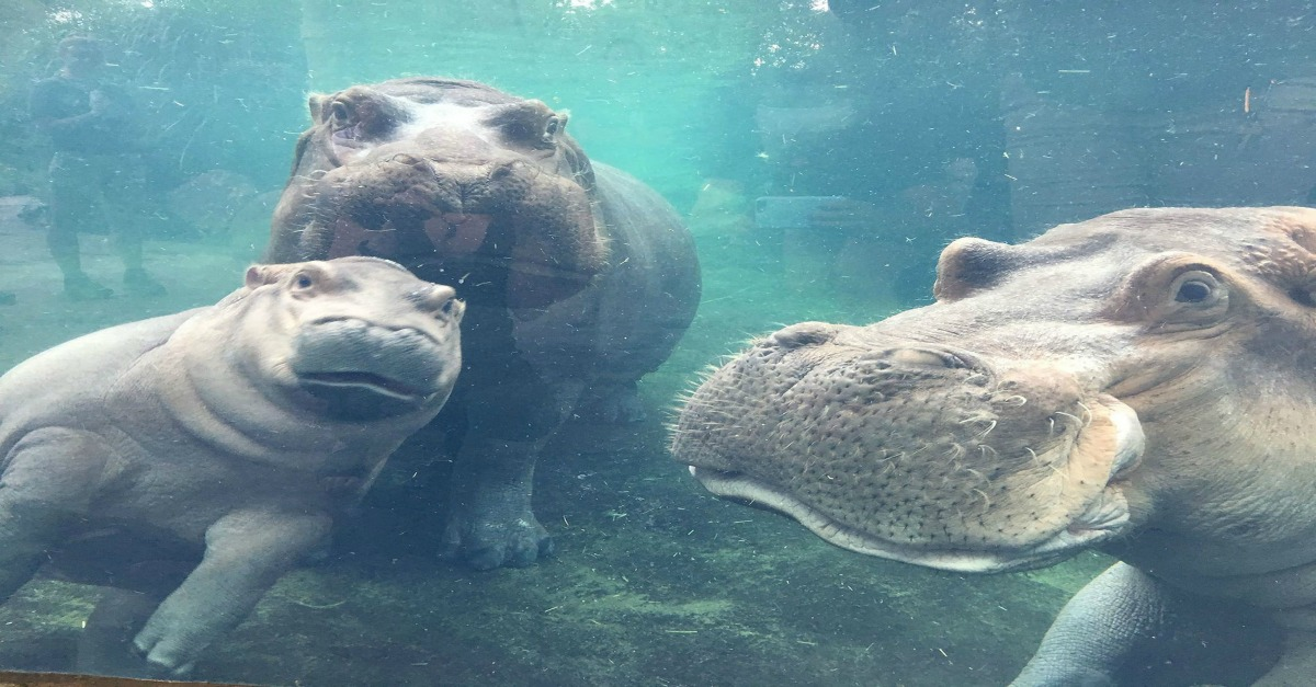 Fiona the hippo is going to be even more famous now