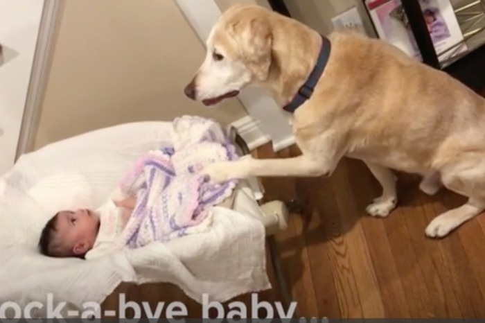 Watching this Golden Retriever rock his baby sister to sleep is the sweetest thing you'll see all week