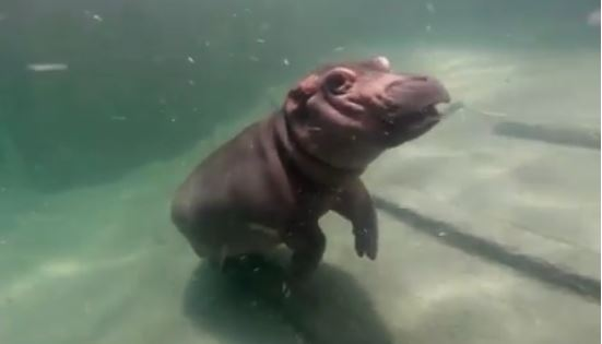 Fiona the hippo has another exciting project in the works