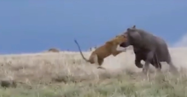 Watch a Lion Sneak Up on a Relaxing Hippo and Feel a World of Pain for the Intrusion
