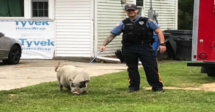 When a New Jersey pig was on the loose, the police reached for a lasso and dog treats to bring it in