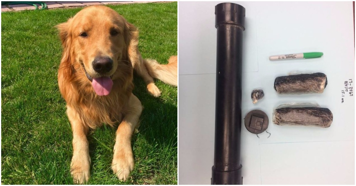 A family was dumbfounded when their pet golden retriever dug up a whole lot of hard drugs in the backyard