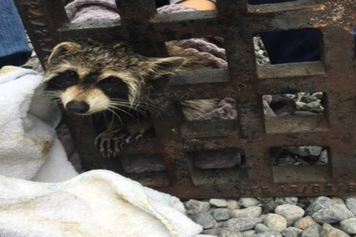 "A raccoon needed some serious ""elbow grease"" to get out of a sewer grate"
