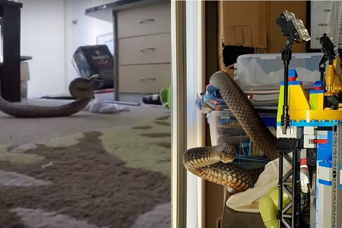 Snake Hunters Flushed a Five-Foot Poisonous Snake Out of a Child's LEGO Set