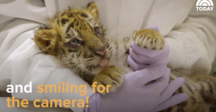 The tiger cub smuggled into the U.S. from Mexico is adapting quite nicely in its new home