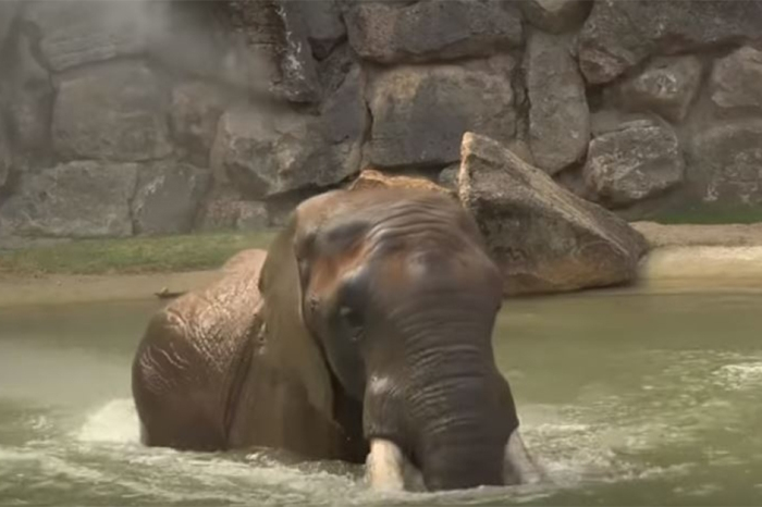 Just in time for the summer heat, the Vienna Zoo opens a new bathing pool for their elephants