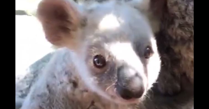 There's a rare koala that needs a name, and a zoo in Australia wants you to decide it