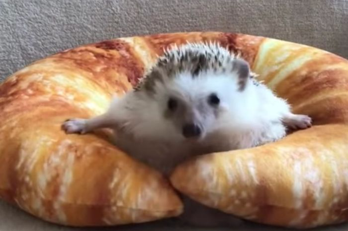 This Hedgehog Realized He Couldn't Quit Carbs