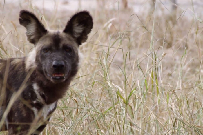 A new study suggests wild dogs use their noses to communicate with their pack