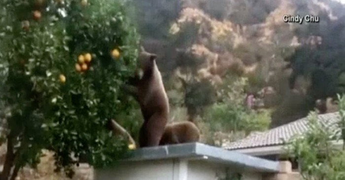 Watch this mama bear and her cub enjoy the fruits of their labor