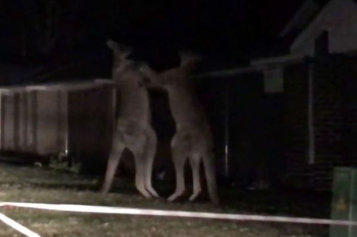 Two gigantic kangaroos met face-to-face for a midnight battle on the lawn