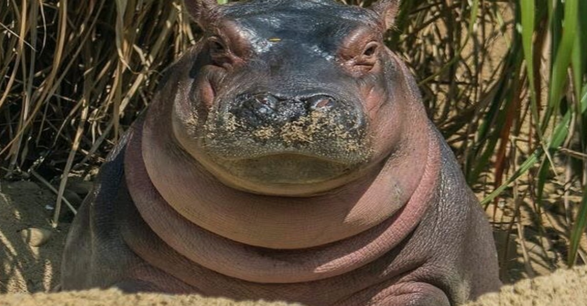 Fiona the hippo passing gas underwater is something fans of the premature hippo never thought they would see