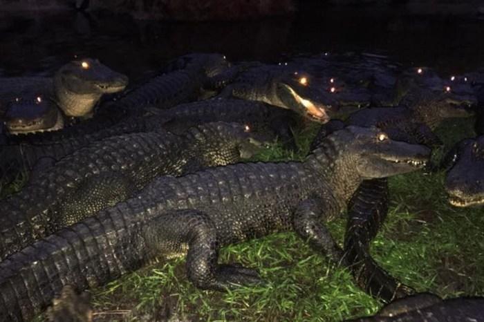 Gatorland Orlando wrangles more than 2,000 reptiles as they ride out Irma